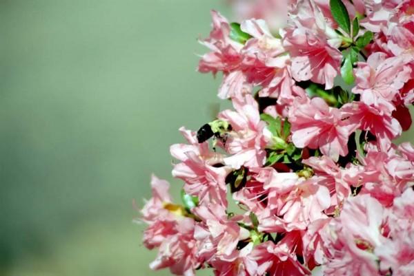 Bee on azaleas