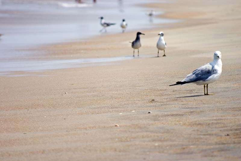 Birds on the beach, OBX