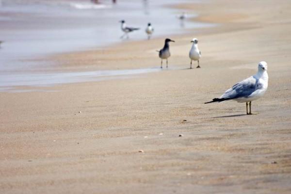 Birds on the beach, OBX