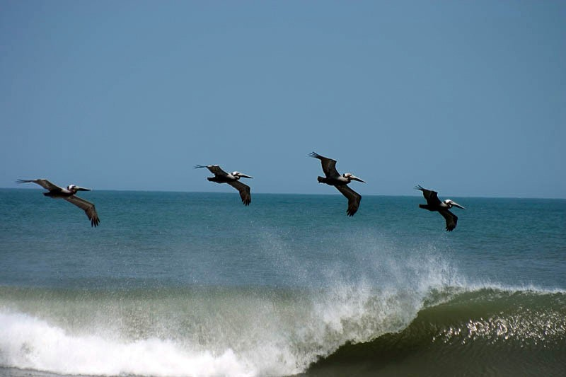 Pelicans avoid a wave
