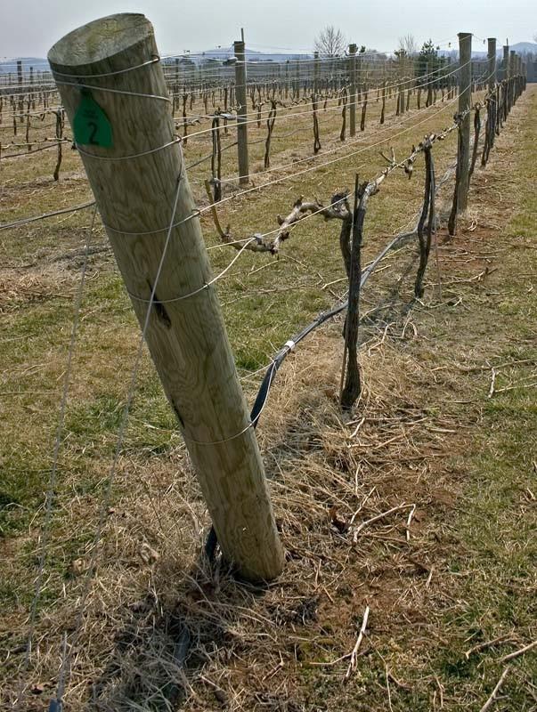Vineyard grapes, Crozet, VA