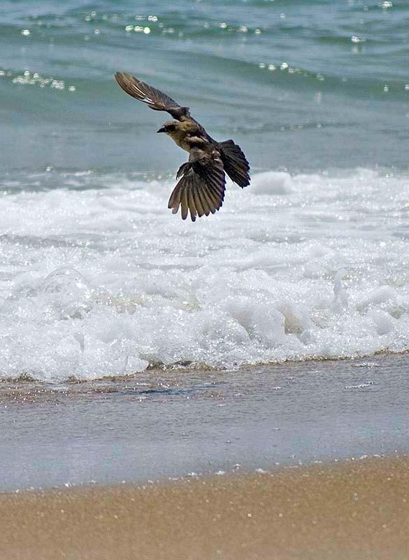 Bird near the surf