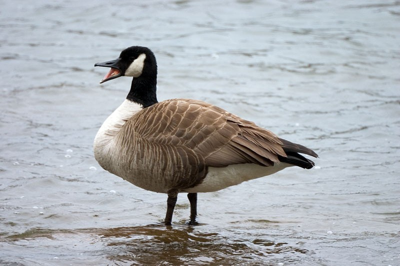 Goose on the James River