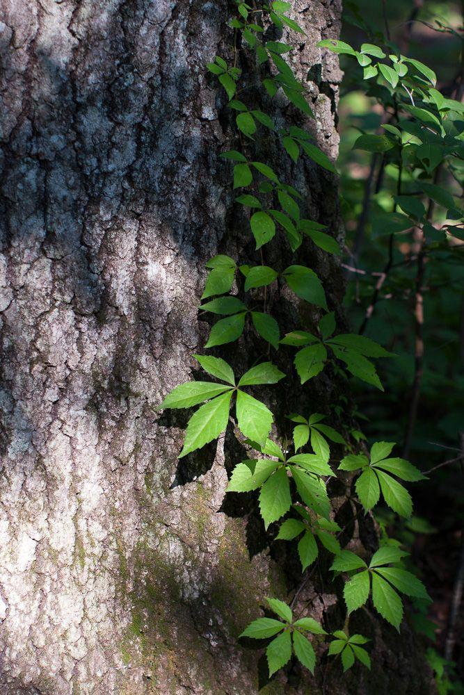 Creeping vine