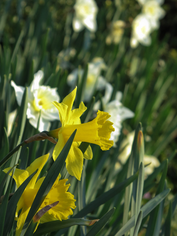 Daffodils at last