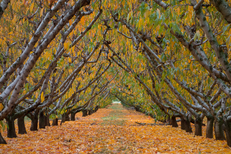 Tunnel of apple trees
