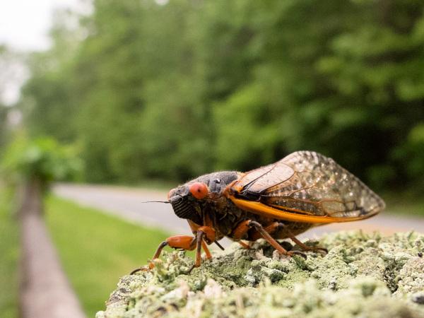 Roadside cicada