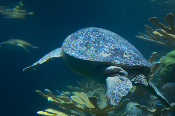 Sea turtles, Boston Aquarium