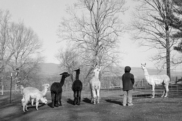 At the alpaca farm
