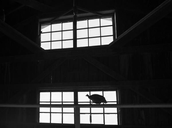 Guinea hen silhouette
