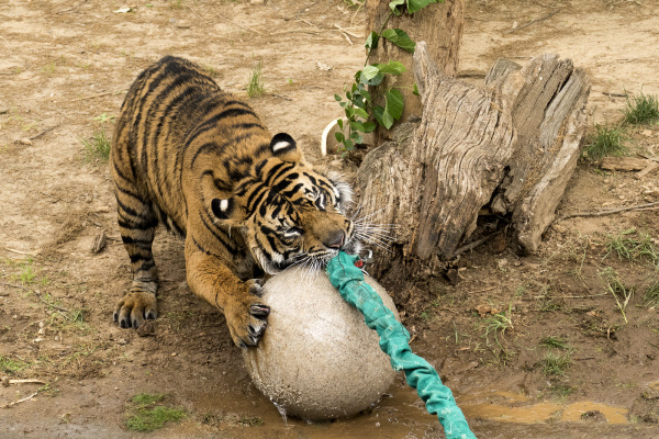 Big kitty plays ball