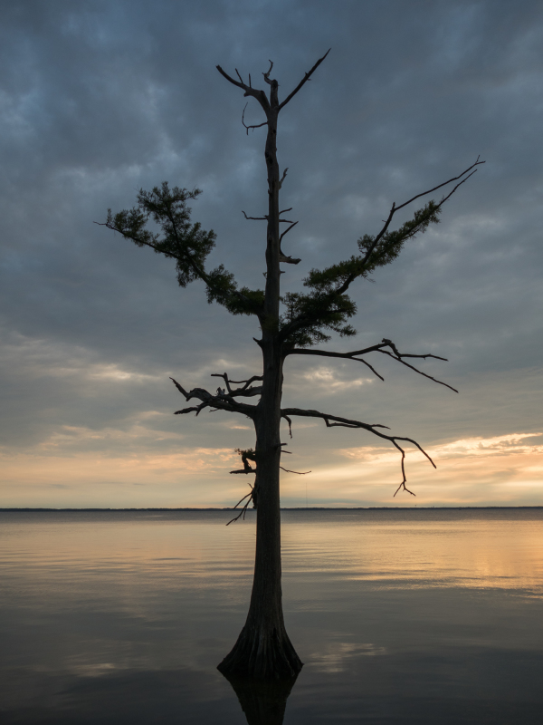 Tree on Currituck Sound, NC