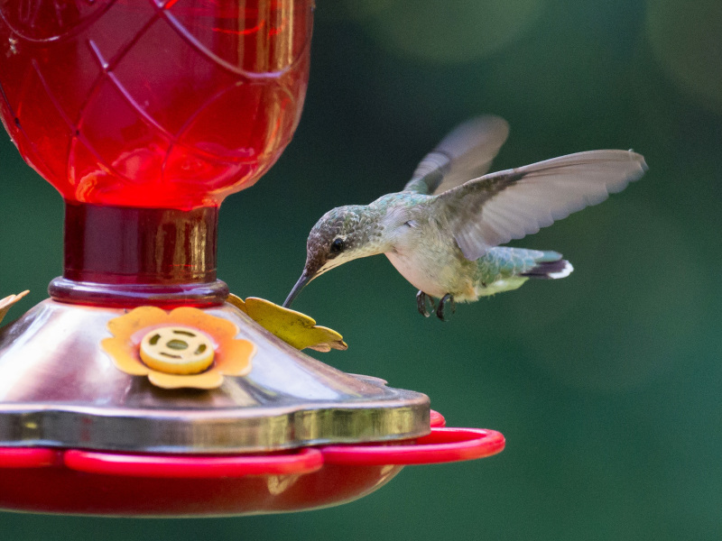 Hummingbird at the feeder