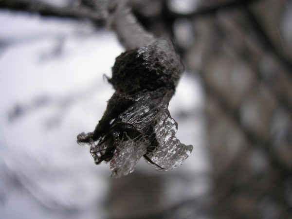 Icy burgeon