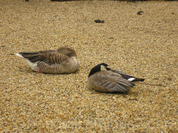 duck zoo animals