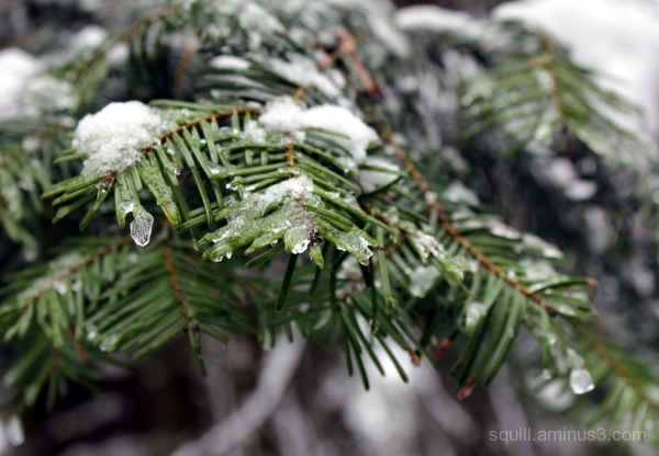 Macro of a pine needles covered with snow