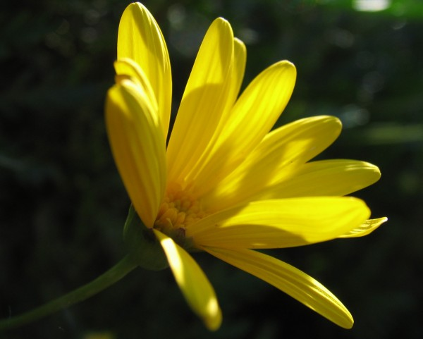 Yellow Petals of Understanding