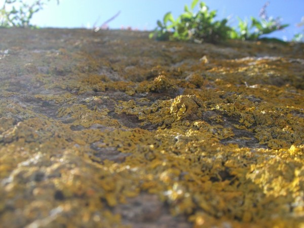 lichen kingdom