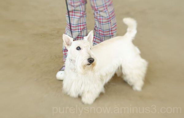 scottish dog, scottie, cù