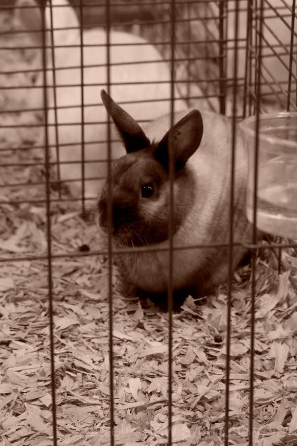 bunny puyallup fair