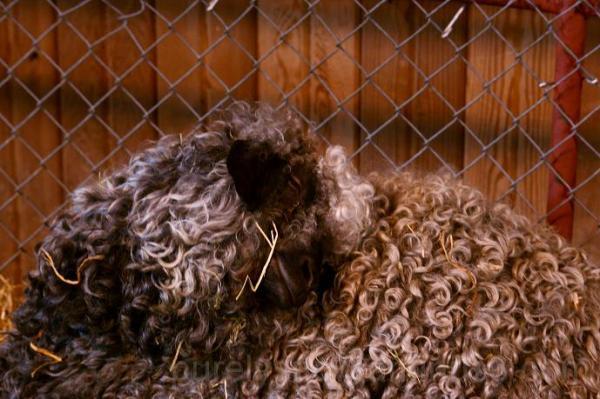 sheep puyallup fair