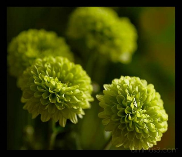 green pompoms