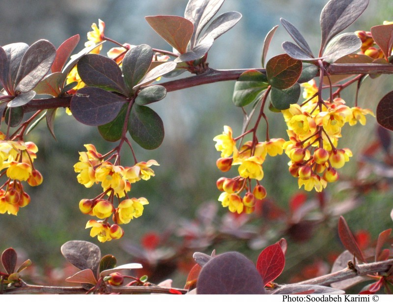 Ornamental Berberis