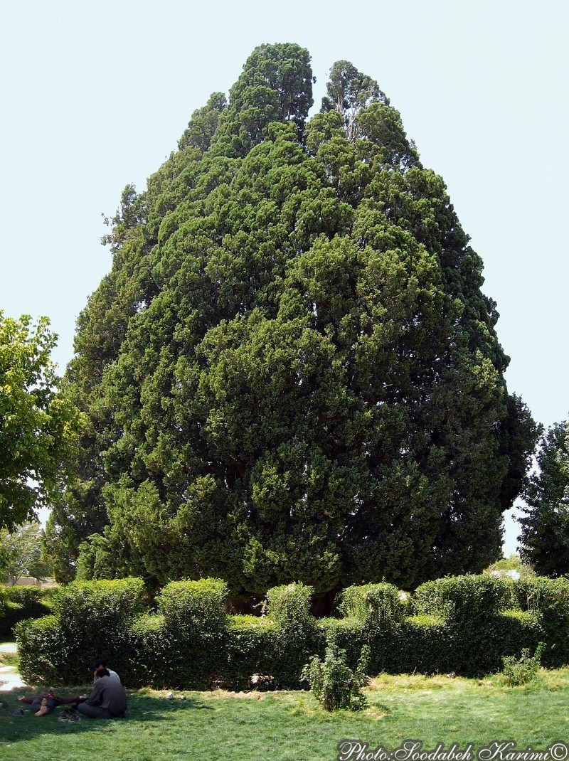 4500 Years Old Cypress(1)
