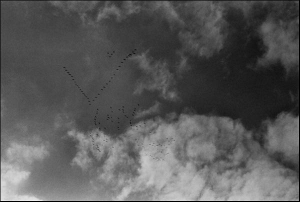 wild gooses over Cologne, flying south –