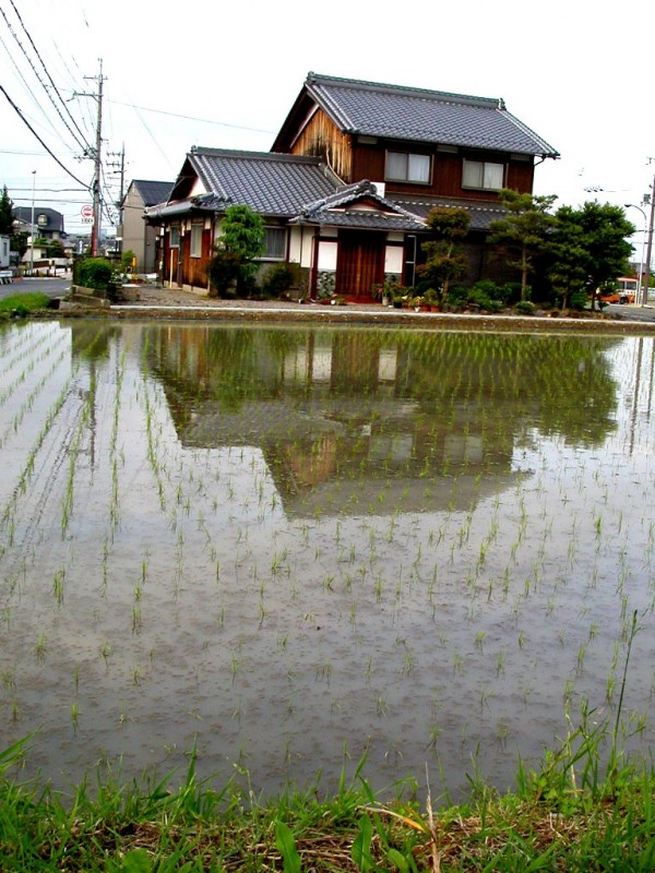 Newly planted rice
