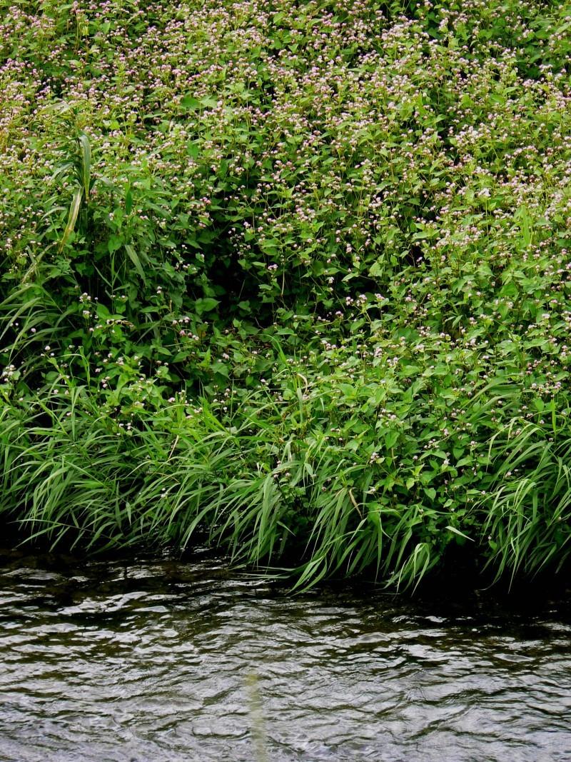 Flowers beside Yamashina River
