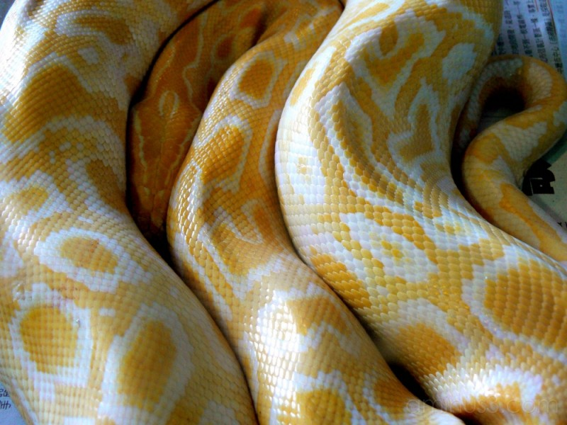 Yellow And White Snake Animal Insect Photos Kate S Mostly Japan Photoblog