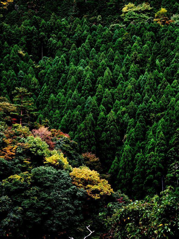Japanese cedar trees