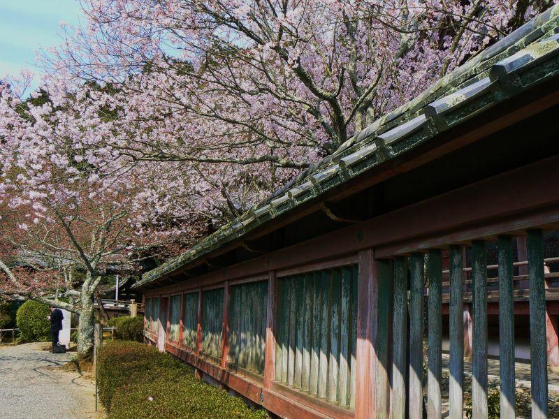 Cherry trees at Bishamon Temple II