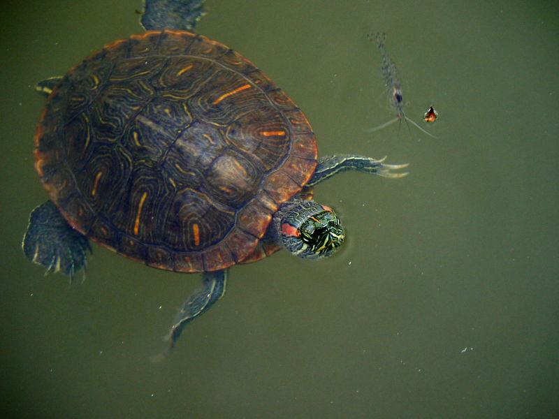 Turtle and shrimp swimming in Pond at Nara
