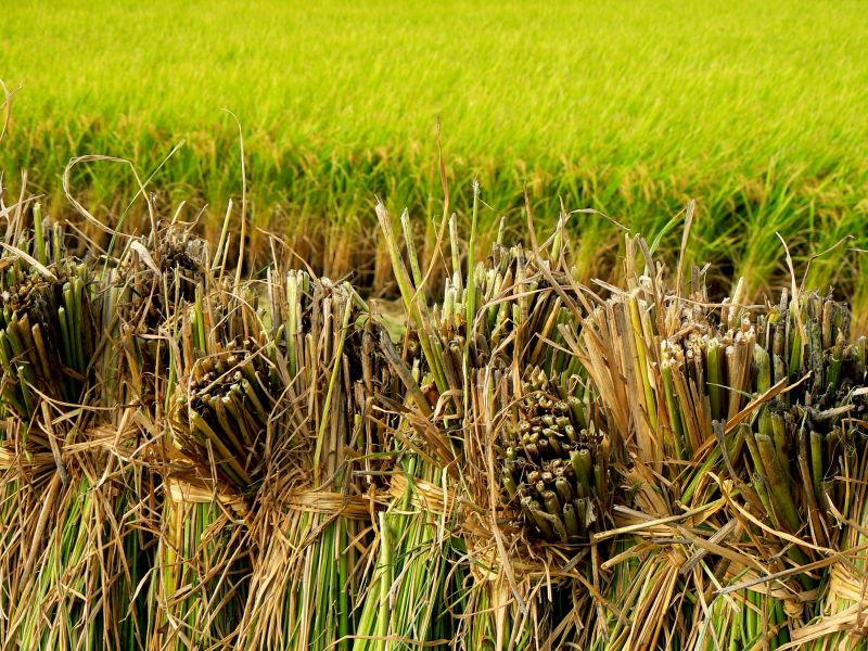Bundles of rice-straw
