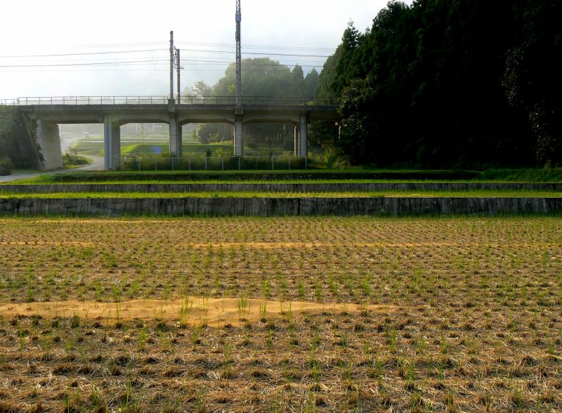 Rice fields after harvesting