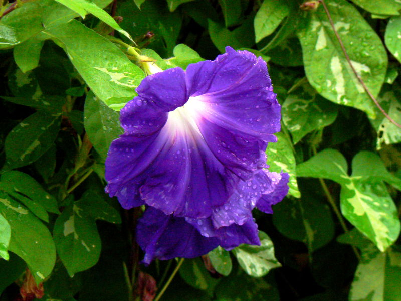 Morning glory flowers wet with rain