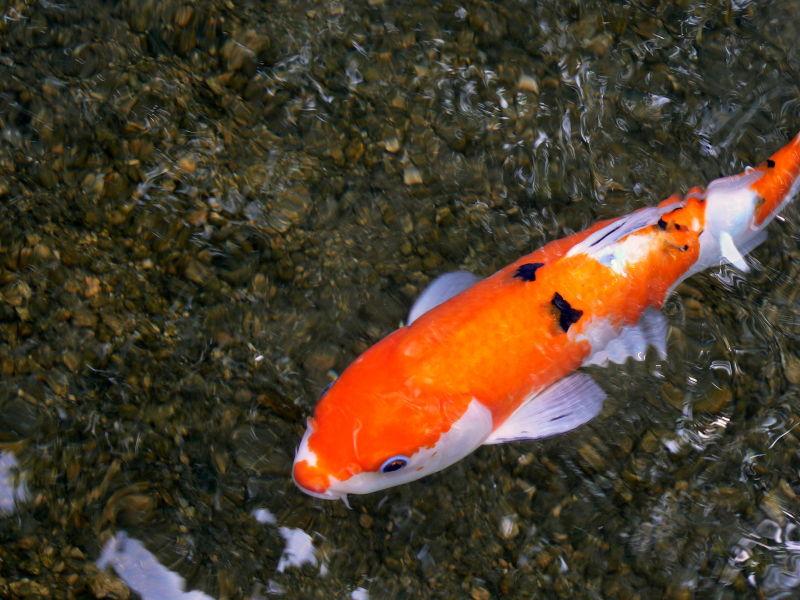White, orange & black ornamental carp