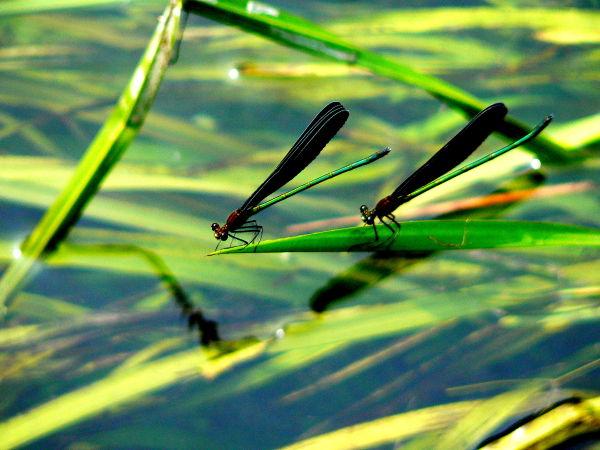 Metallic green dragonflies
