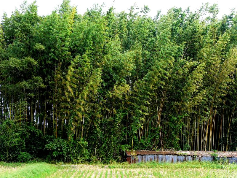 Low farm building with tall bamboo