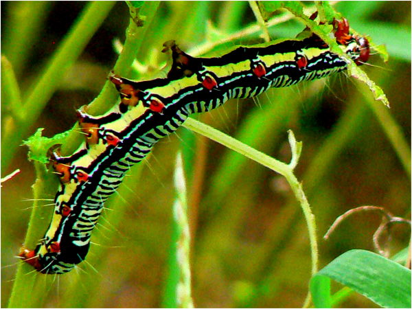 striped caterpillar