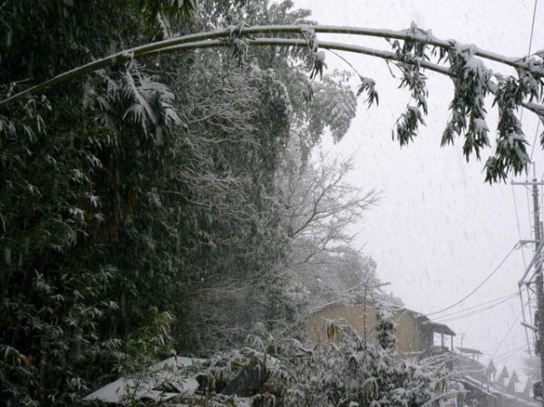 Bamboo bending under weight of snow