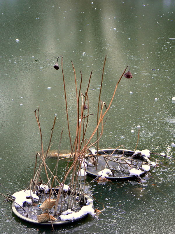 Dead lotus stems in an icy pond