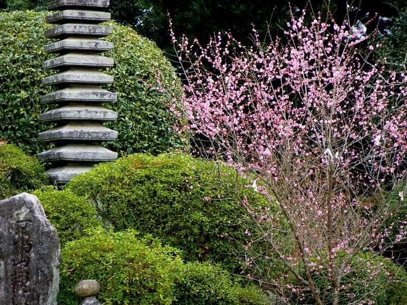Pink plum blossom in Japanese temple garden