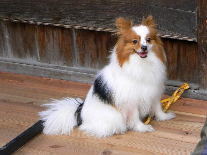 Cute small long-haired dog