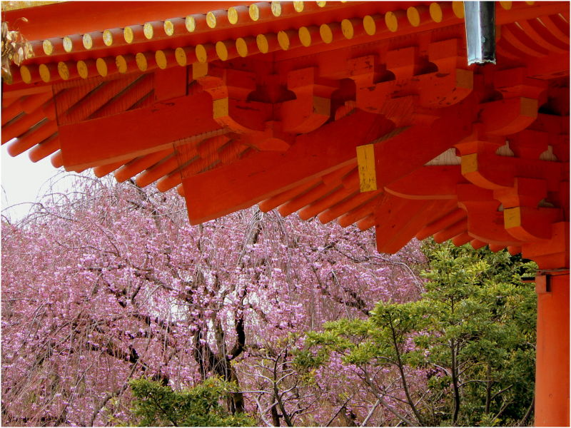 Cherry blossom at Heian Jingu in Kyoto, Japan