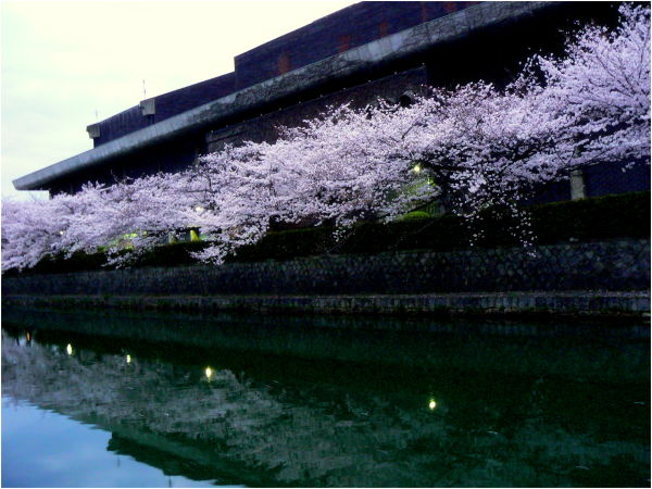 Cherry blossom reflected in water