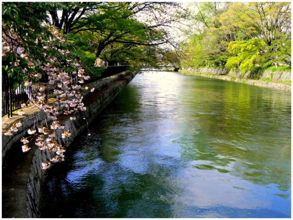 Cherry blossom by the canal