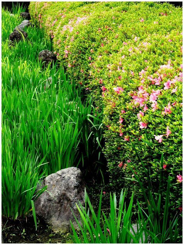 Irises and azaleas in a Japanese garden